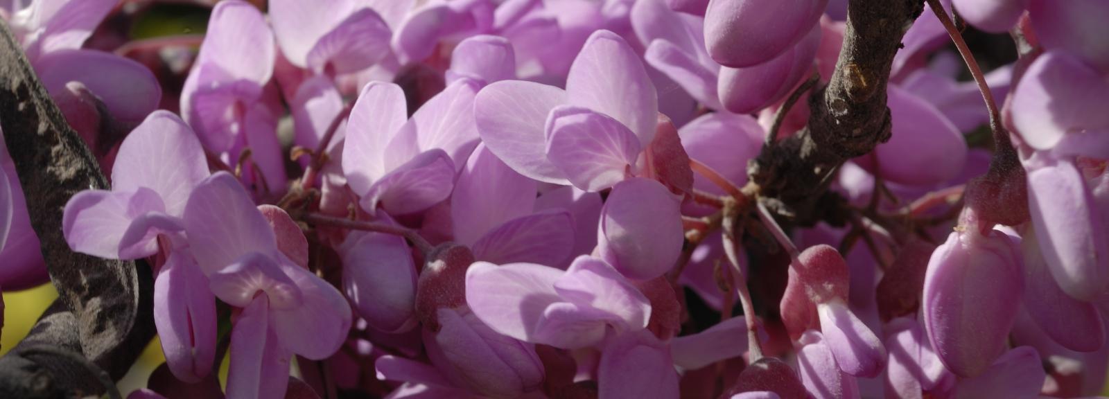 Arbre de judée en fleurs © MNHN - Patrick Lafaite