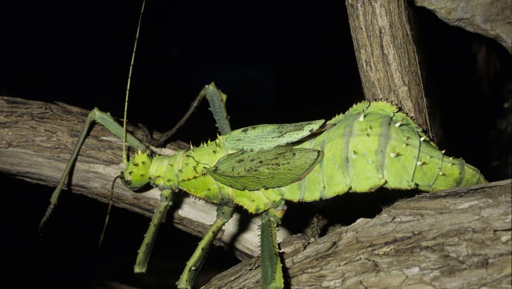 Phasme (Heteropteryx dilatata) © MNHN - Bernard Faye