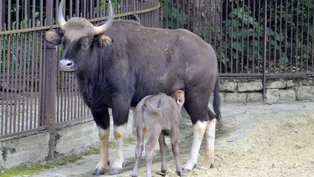 Femelle Gaur avec son petit © MNHN - Jérôme Munier