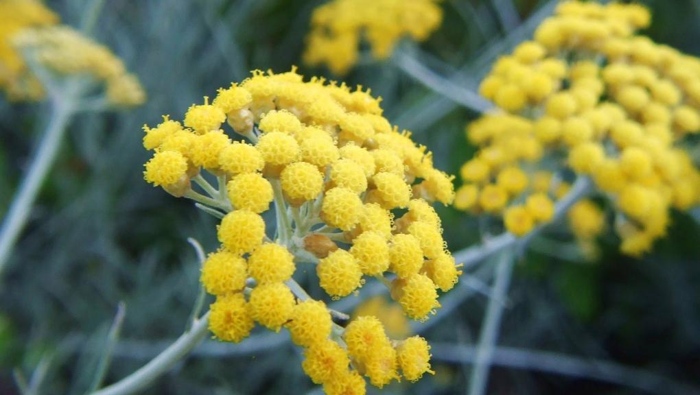 Immortelle d'Italie - Helichrysum italicum © Flickr - Lotus Johnson