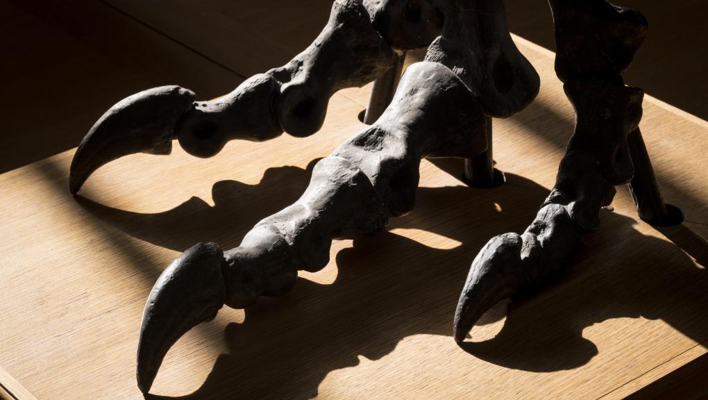 Patte d'allosaure (Allosaurus fragilis) © MNHN - Agnès Iatzoura