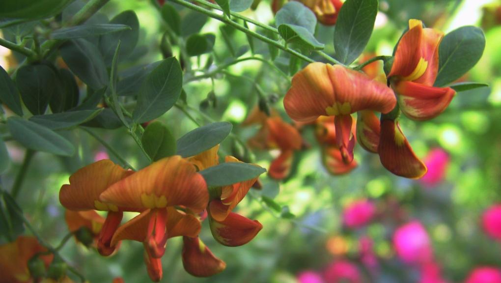 Baguenaudier orange © Thomas Lamp - Flickr
