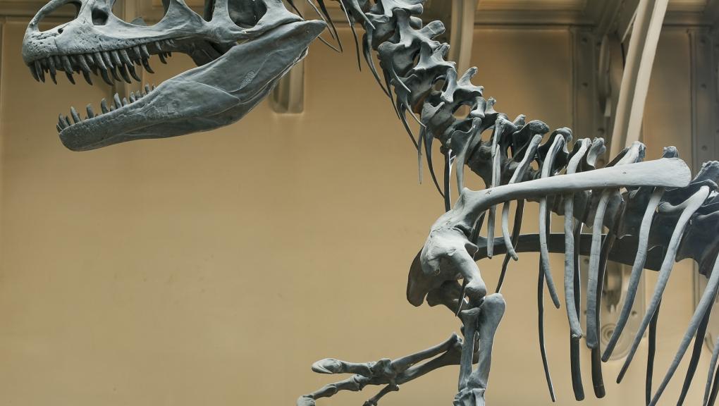 Allosaurus fragilis © MNHN - Agnès Iatzoura