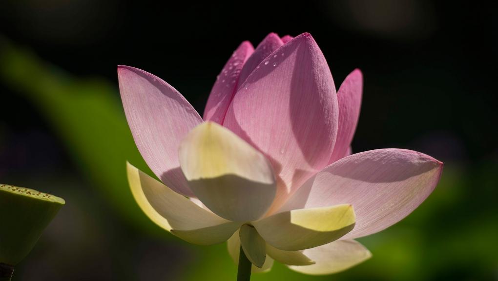 Lotus sacré (Nelumbo nucifera) - Jardin botanique Val Rahmeh-Menton © MNHN - Agnès Iatzoura