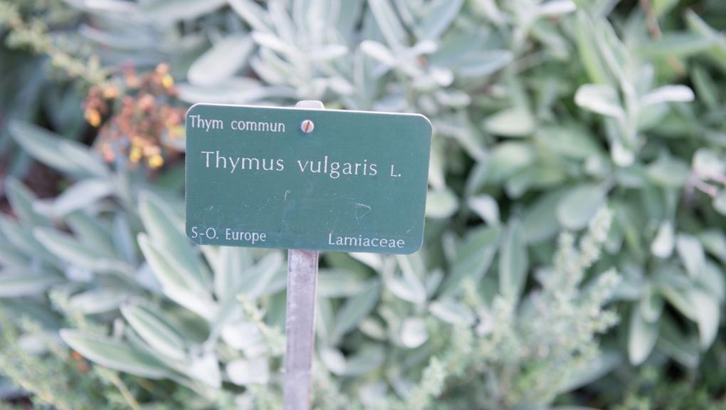 Thym commun © MNHN – Olivier Borderie