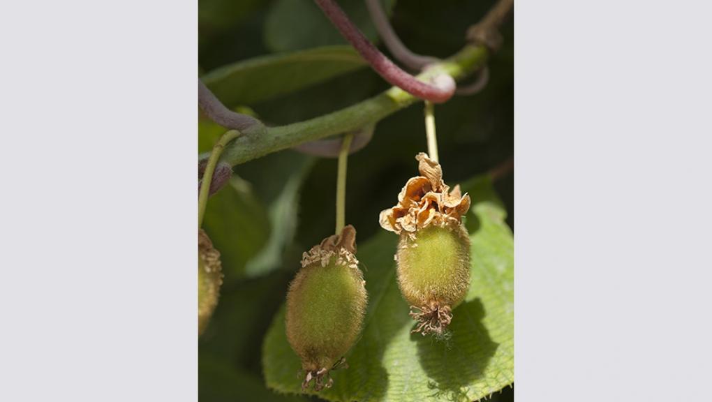 <em>Actinidia chinensis</em> © MNHN - Patrick Lafaite