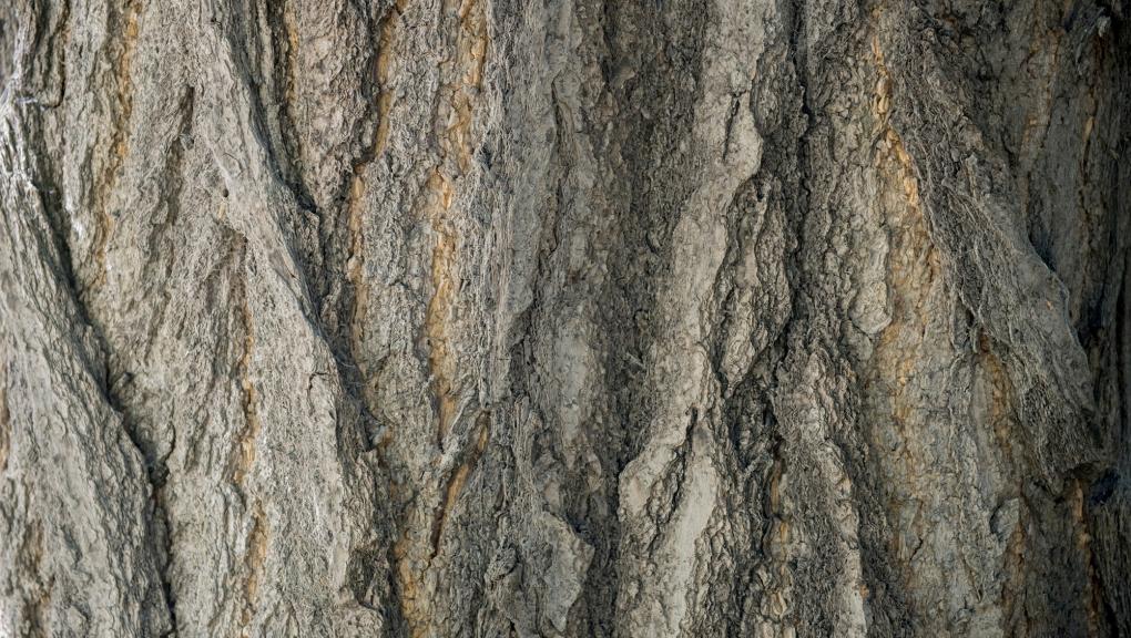 Arbre aux 40 ecus (Ginkgo biloba) © MNHN - Bruno Jay