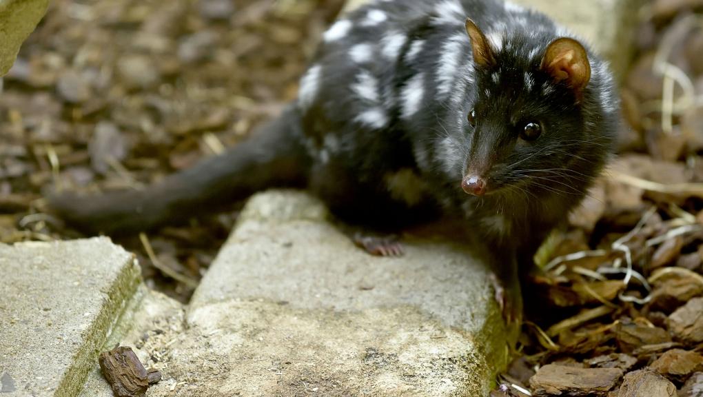 Chat marsupial moucheté (Dasyurus viverrinus) © MNHN - FG Grandin