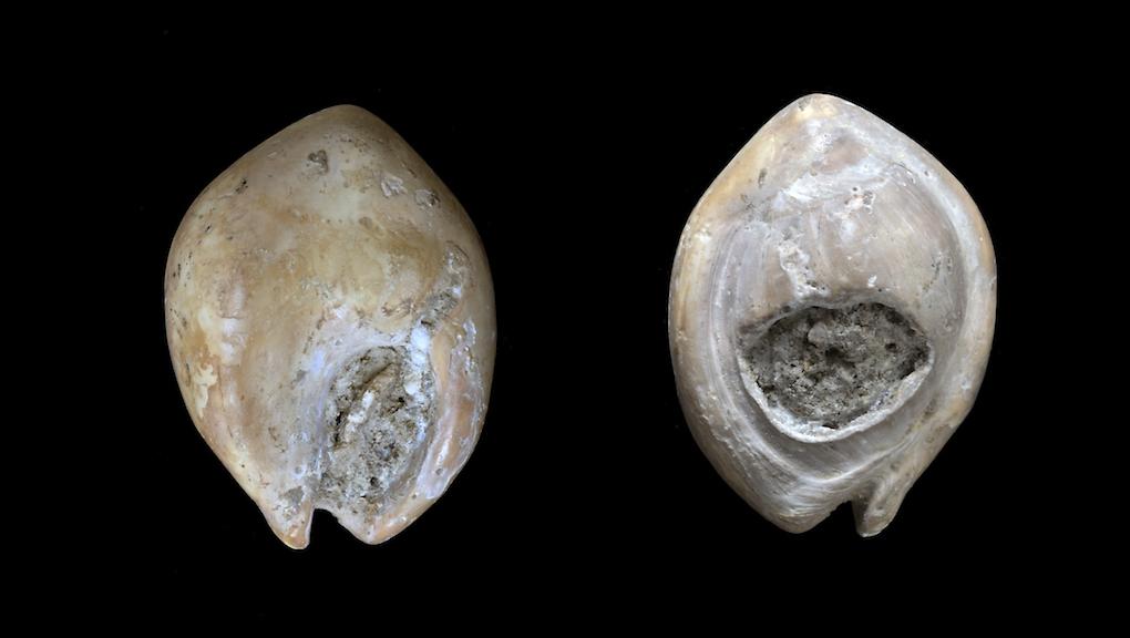 Coquillage perforé, nasse bossue (Nassarius gibbosulus, avers et revers), environ 90 000 ans av. J.C. Oued Djebbana (Tébessa, Algérie) © MNHN - J.-C. Domenech