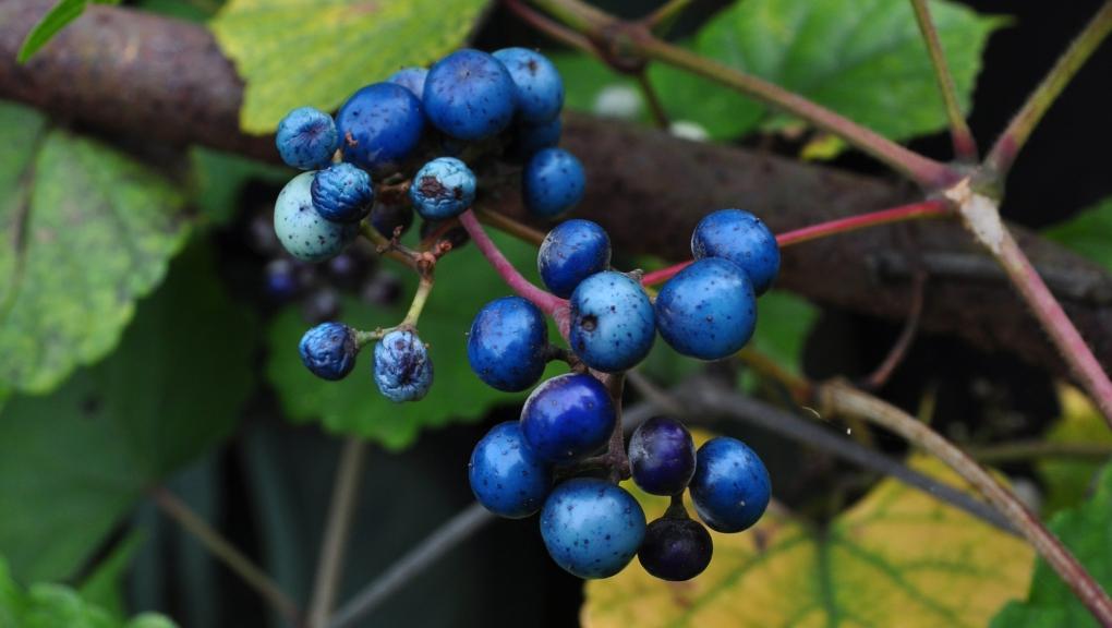 Vigne vierge à fruits bleus - Ampelopsis brevipedunculata © Flickr - A Tidewater Gardener