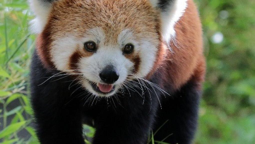 Panda roux © MNHN