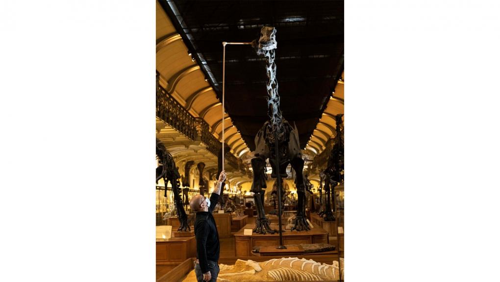 Dépoussiérage du Diplodocus carnegii. Nettoyage avec un plumeau télescopique de fabrication maison © MNHN - A. Iatzoura