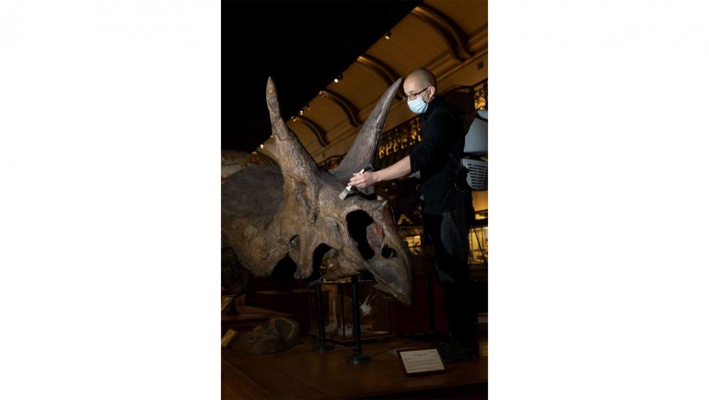 Dépoussiérage du Triceratops horridus © MNHN - A. Iatzoura