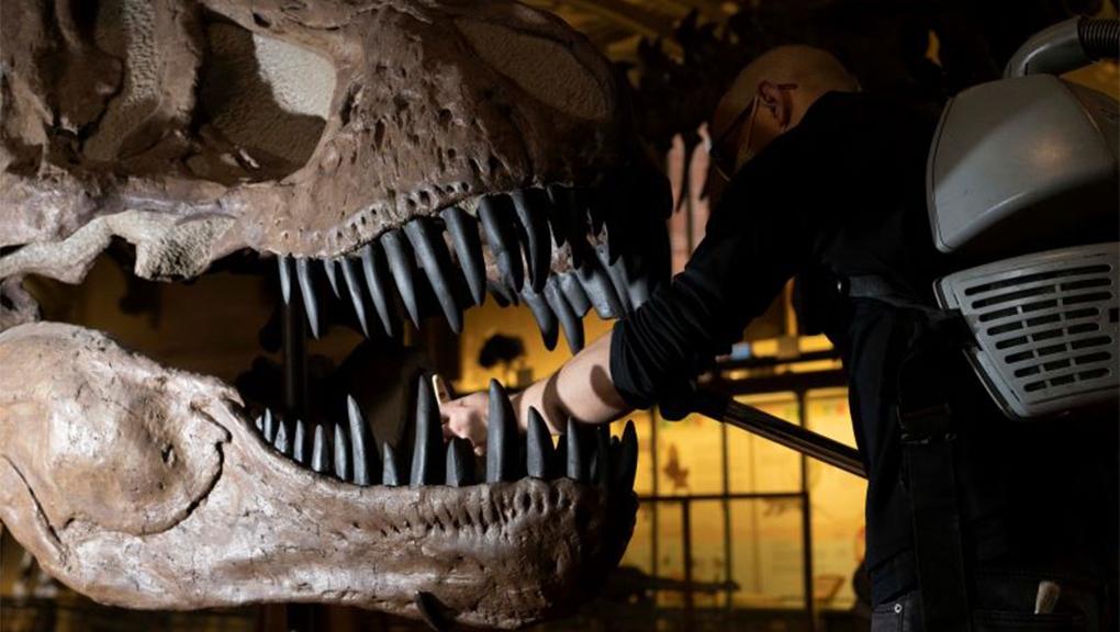 Dépoussiérage du Tyrannosaurus rex © MNHN - A. Iatzoura