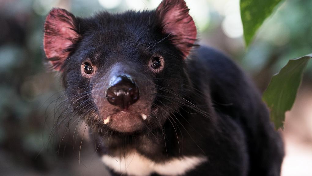 Diable de Tasmanie © David Clode