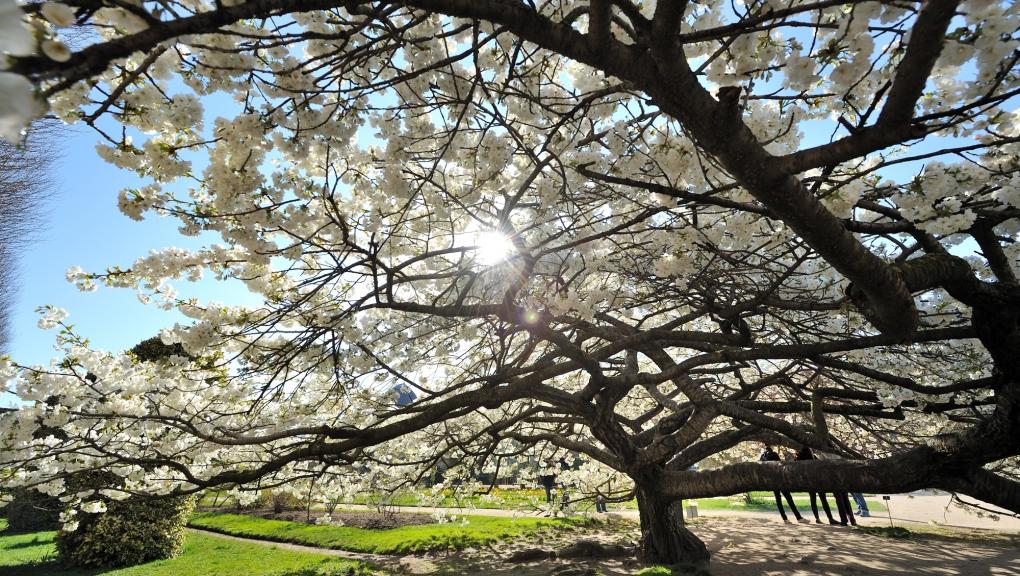 Cerisier japonais © MNHN - FG Grandin