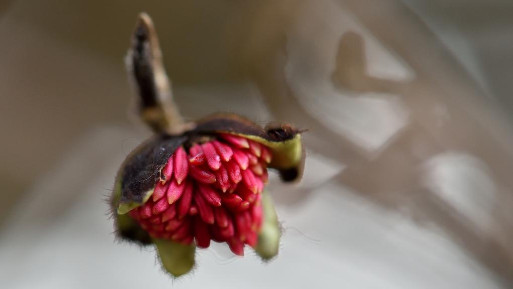 Fleur de parrotie de Perse (Parrotia persica) © MNHN - F-G. Grandin