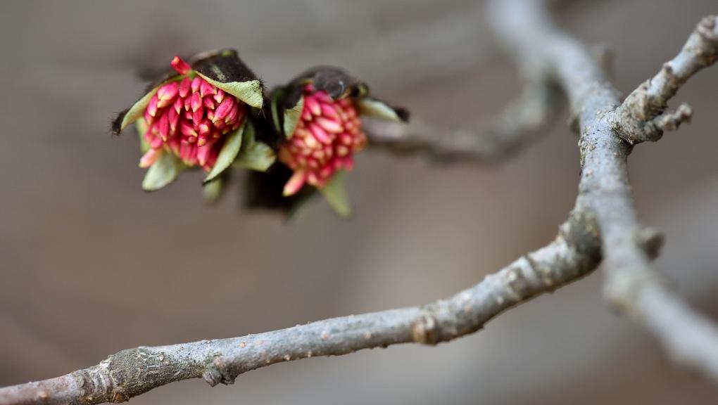 Fleurs de parrotie de Perse (Parrotia persica) © MNHN - F-G. Grandin