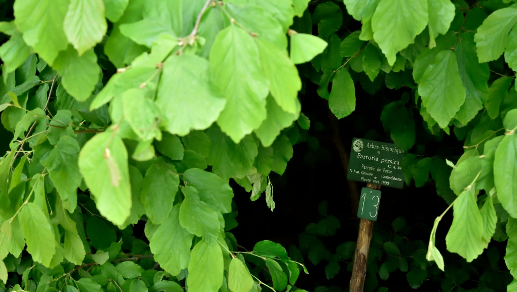 Feuilles de parrotie de Perse (Parrotia persica) © MNHN - F-G. Grandin