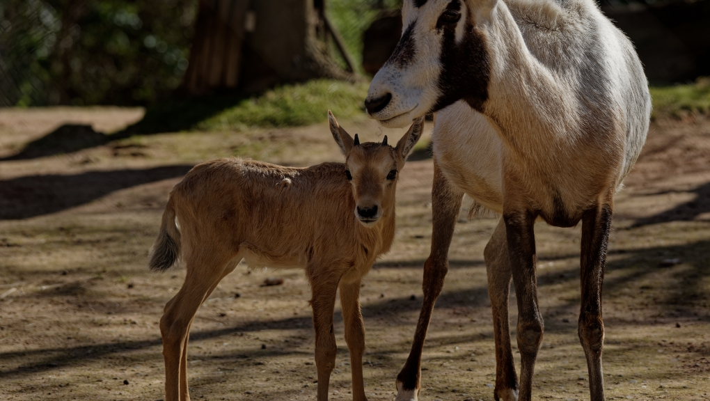 Naissance d'un oryx d'Arabie en février 2021 © MNHN – F.-G. Grandin