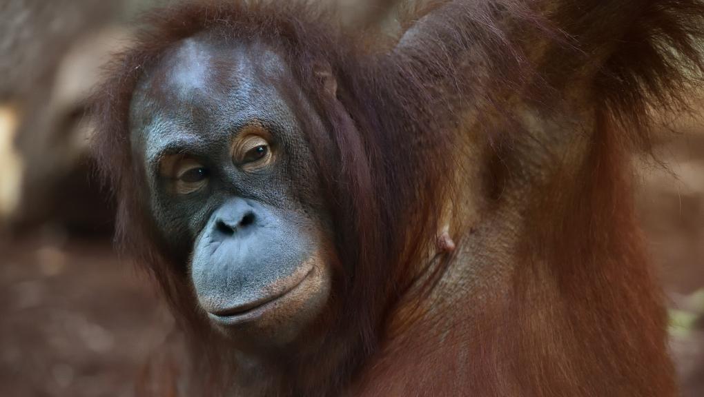 Tamü - Orang-outan de Bornéo © MNHN – F-G. Grandin