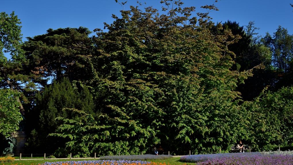 Parrotie de Perse (Parrotia persica) © MNHN - F-G. Grandin