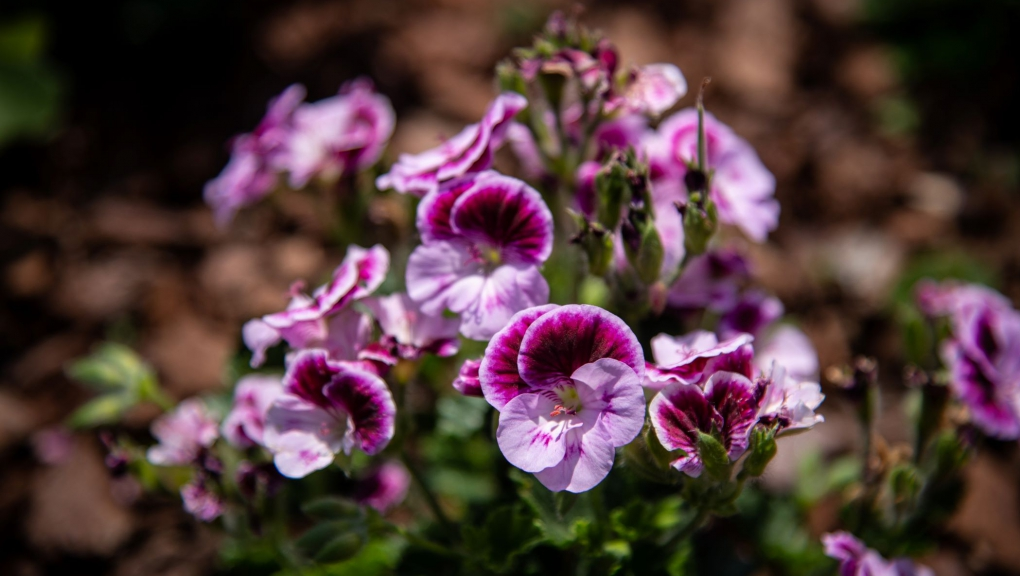 Pélargonium dans la grande perspective du Jardin des Plantes ©️ MNHN - F.-G. Grandin