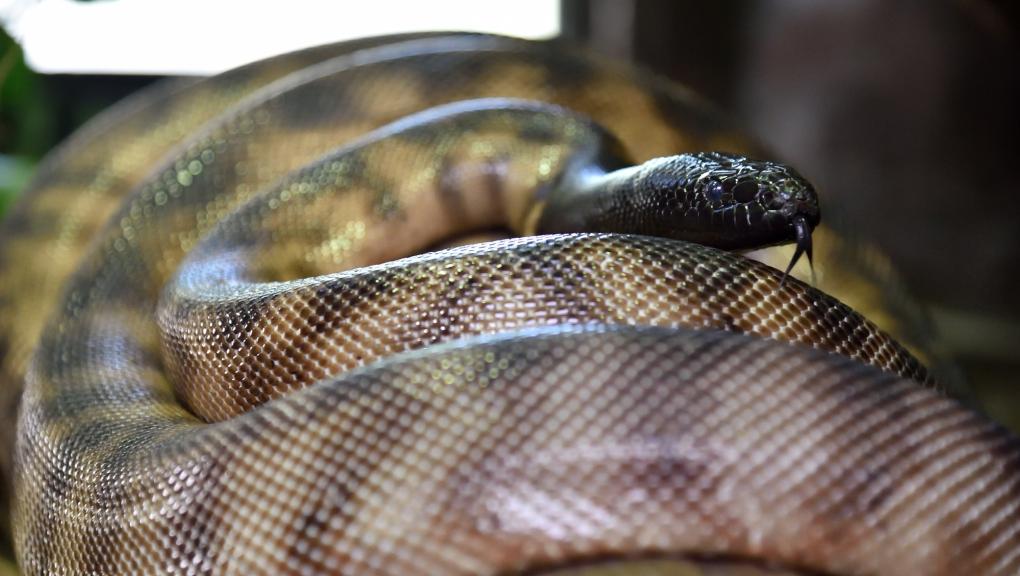 Python à tête noire (Aspidites melanocephalus) © MNHN - FG Grandin