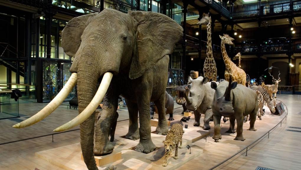 Caravane africaine - Grande Galerie de l'Évolution © MNHN - Patrick Lafaite
