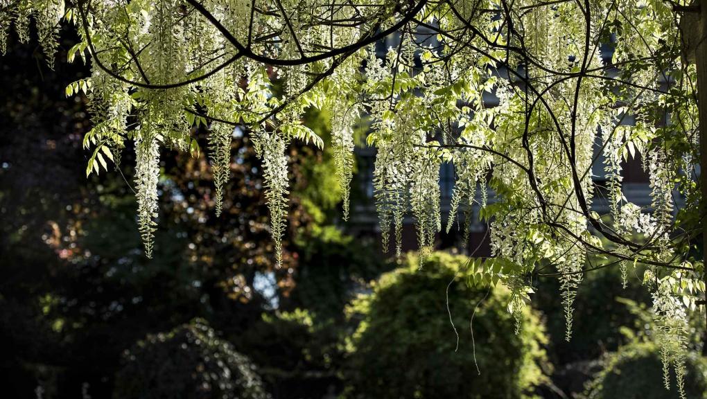 Glycine blanche (Wisteria sp.) au carré des iris © MNHN - Agnès Iatzoura