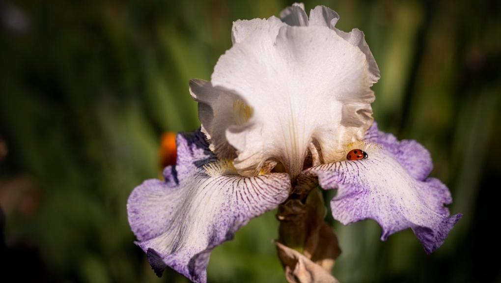 Carré des iris, Iris 'Ruffled skirts' © MNHN - Agnès Iatzoura