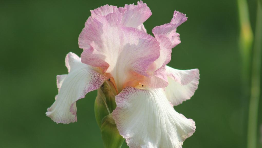 Iris 'Rancho Rose' © MNHN - Xavier Riffet
