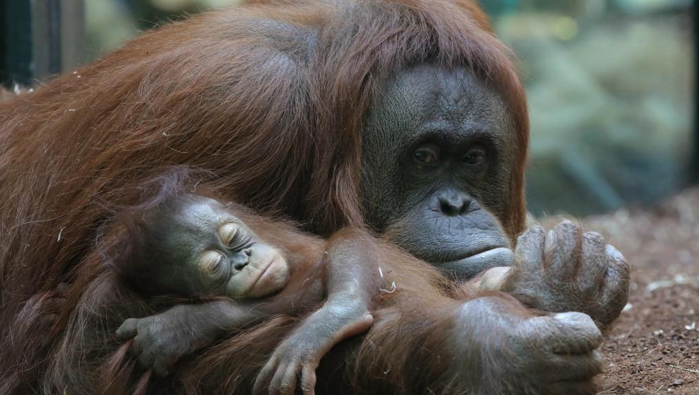 Java, jeune femelle orang-outan © MNHN - Emmanuel Baril