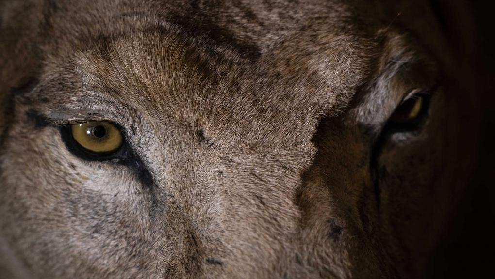 Détail de regard de lion (Panthera leo) © MNHN - A. Iatzoura
