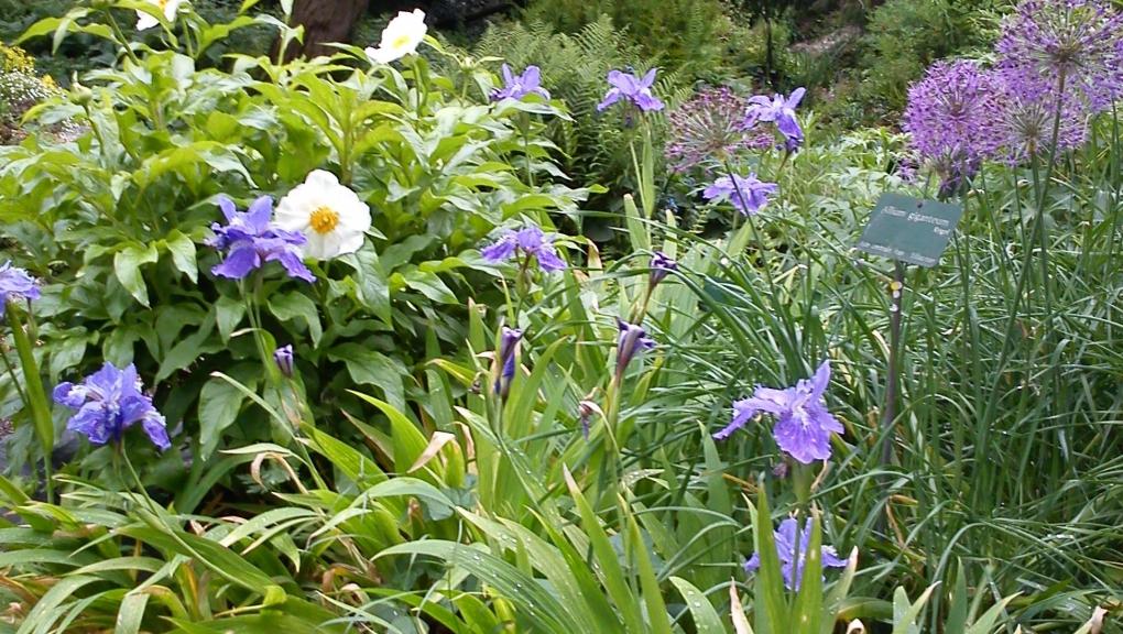 Allium giganteum et Paeonia emodi © MNHN - M. Flandrin
