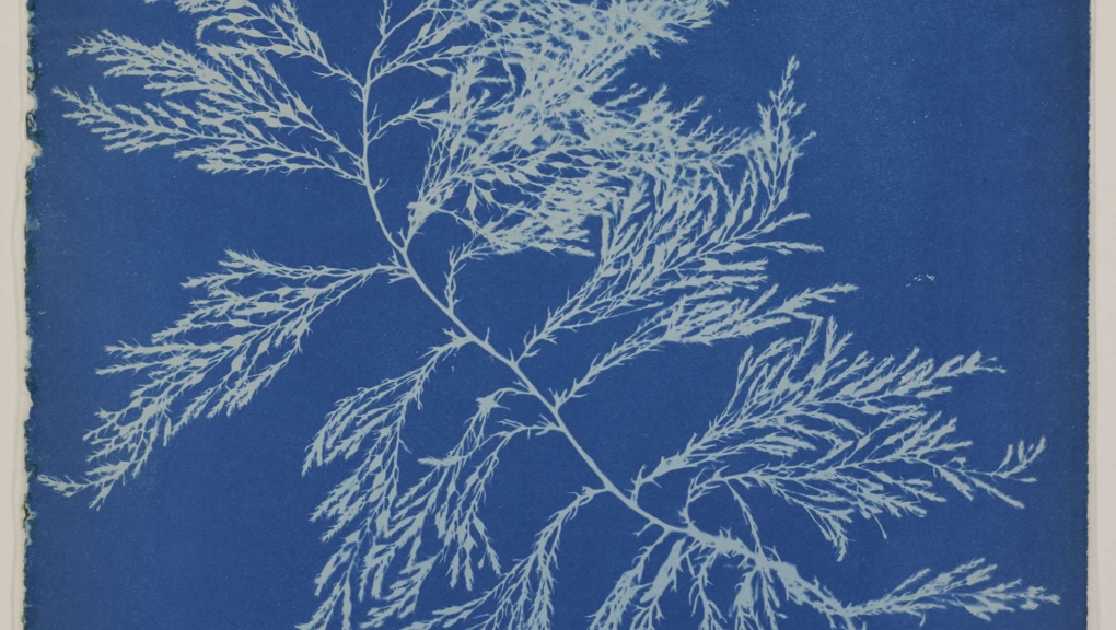 Rencontre cyanotypes Anna Atkins, Photographs of British algae, v. 1845 © MNHN