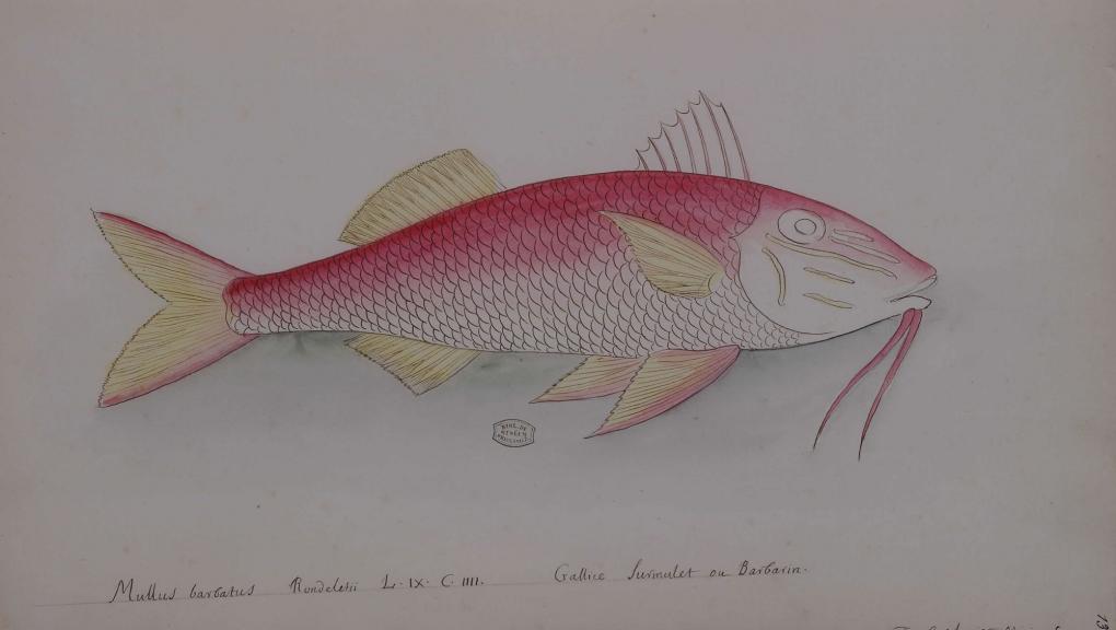 Rencontre poissons de France et des Antilles Charles Plumier, Mullus barbatus © MNHN