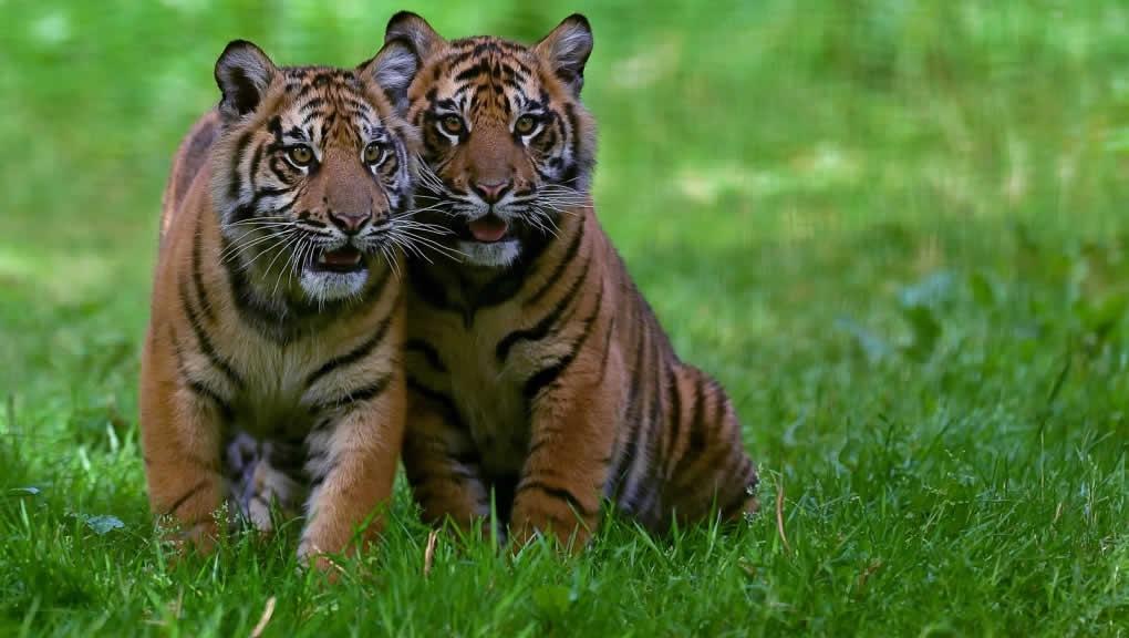Jeunes tigres de Sumatra © MNHN - F.-G. Grandin