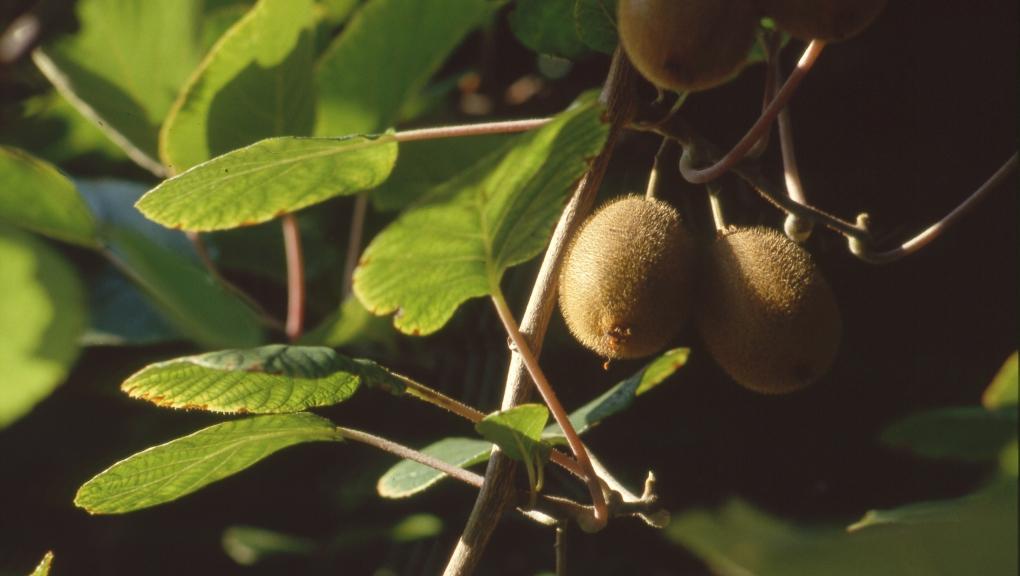 Kiwi ou souris végétale © MNHN - Laurent Bessol