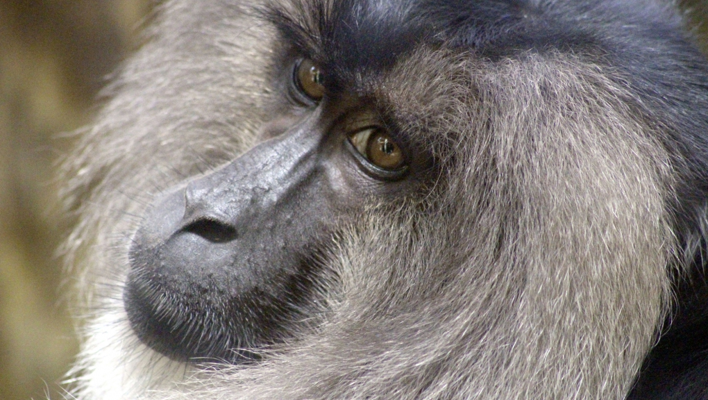 Macaque à queue de lion (Macaca silenus) © MNHN - Roxane Chenay