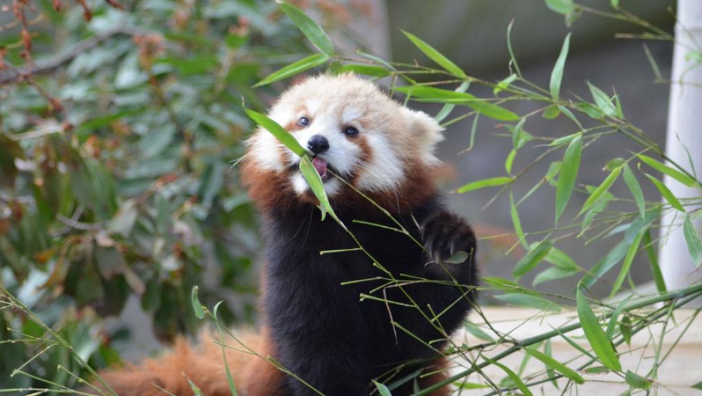 Panda roux © MNHN - Jérôme Munier