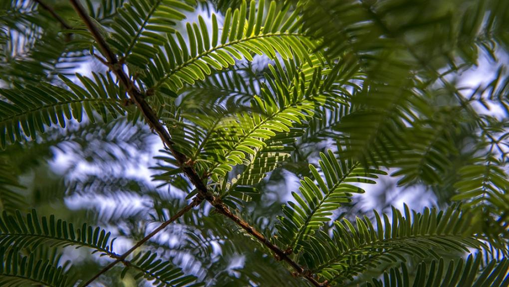 Métasequoia - Metasequoia glyptostroboides - Taxodiaceae - Chine (Arbre Historique) © MNHN - Bruno Jay
