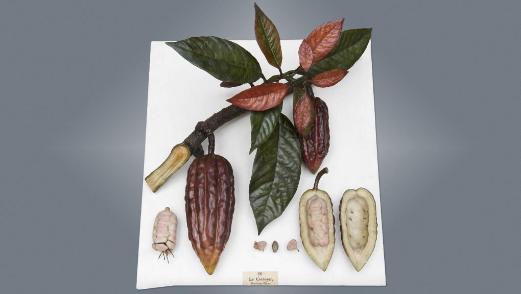 Louis Marc Antoine Robillard d'Argentelle (1777-1828), Cacaoyer (Theobrama cacao L.), 1802. Cire botanique colorée modelée, bois, fer. Cote : MNHN.OA.1300-026 © MNHN