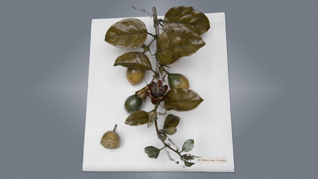 Louis Marc Antoine Robillard d'Argentelle (1777-1828), Grenadille (Passiflora Alata), 1802. Cire botanique colorée modelée, bois, fer. Cote : MNHN.OA.1300-079 © MNHN