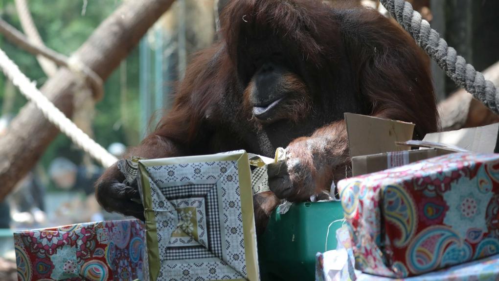 Nénette, l'orang-outan © MNHN - Emmanuel Baril