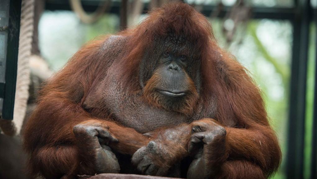 Nénette, l'orang-outan © MNHN - F.-G. Grandin