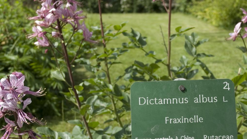Fraxinelle - Dictamnus albus © MNHN - Patrick Lafaite