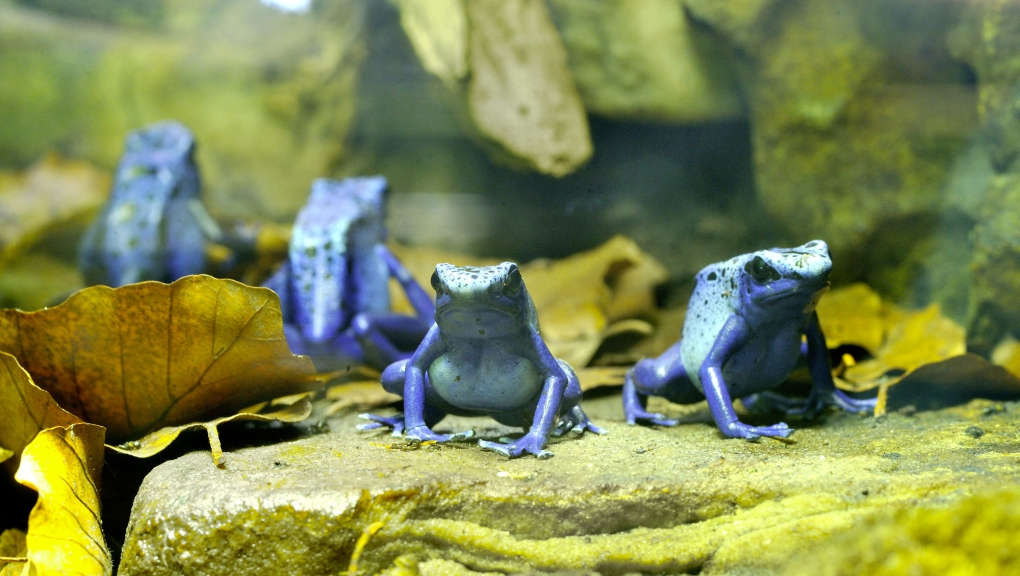 Dendrobate bleu (Dendrobates azureus) © MNHN - FG Grandin