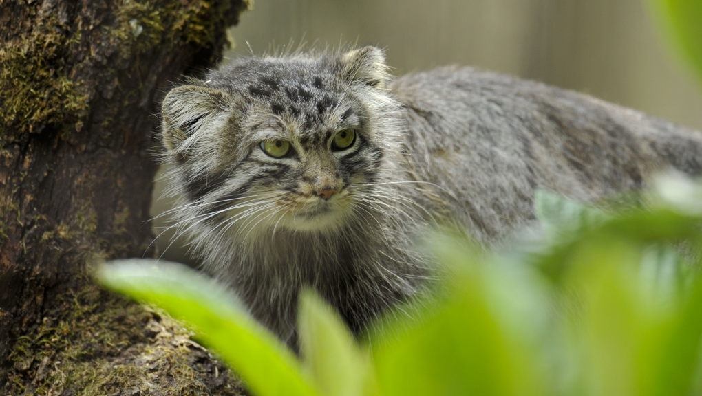 Chat de Pallas (Otocolobus manul) © MNHN - F.-G. Grandin