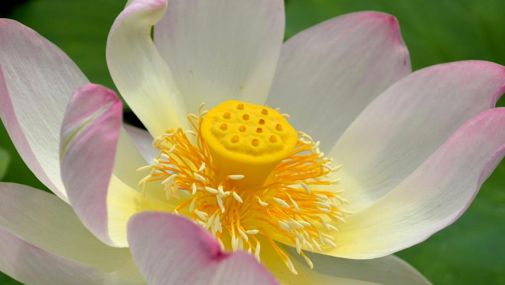 Lotus d'Orient © MNHN – Jérôme Munier